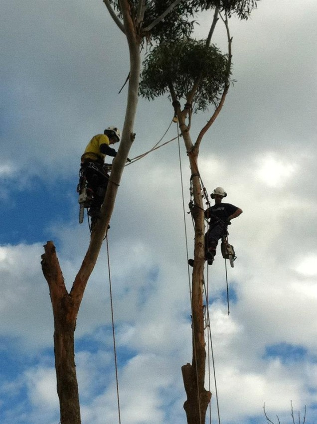 Large Tree Removal In Mt Eliza Tree Service