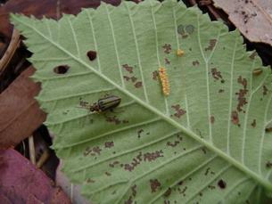 Treating Elm Leaf